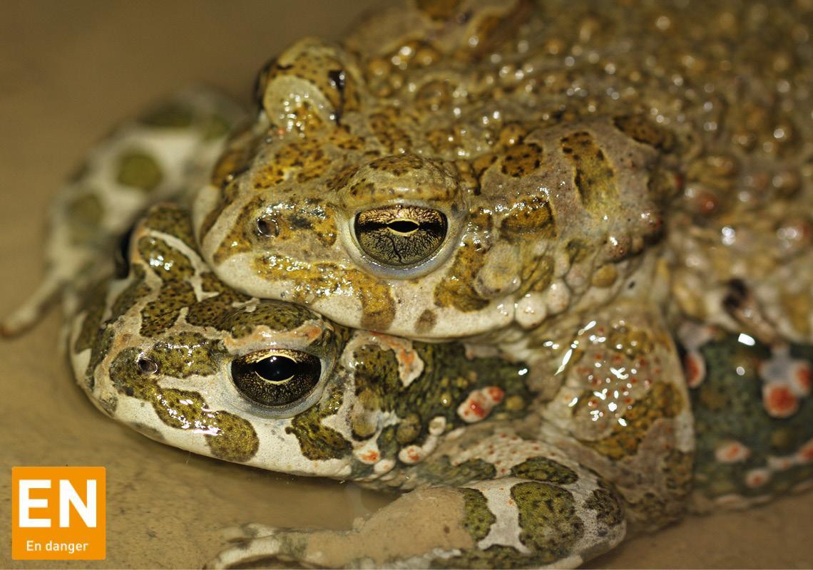 Amphibiens (Alsace)