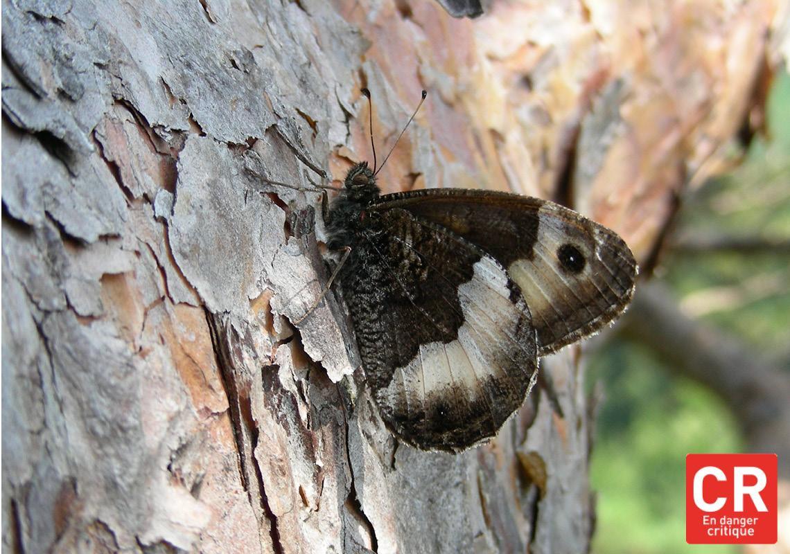 Papillons (Alsace)
